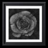 Rose - Fleur